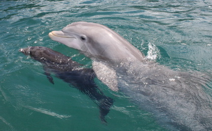 "Do Dolphins Have a ""Language""?"